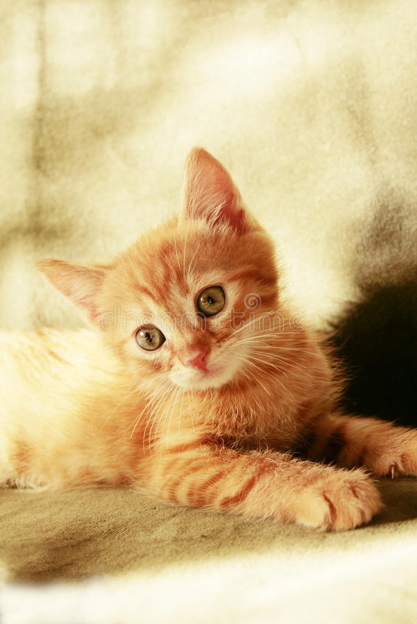 Small yellow tabby kitten royalty free stock image