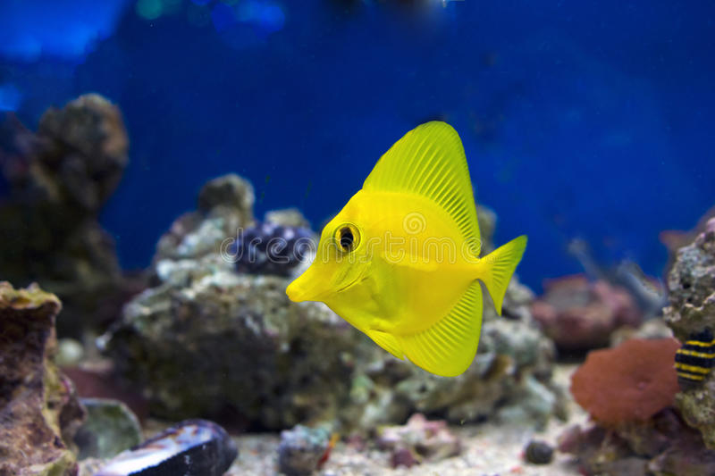 Small yellow tropical fish stock photo image of dark for Yellow tropical fish