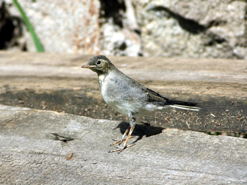 Download Small Yound Bird On The Ground Stock Photo - Image: 11693472