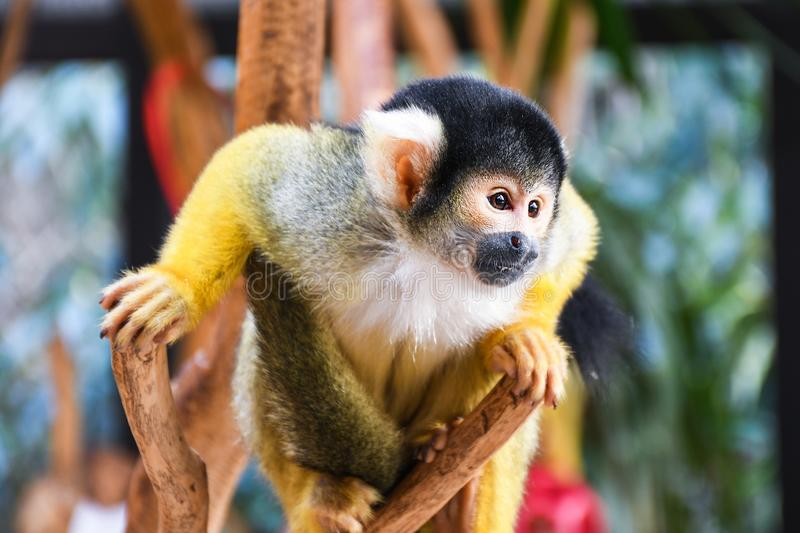 Small young black head squirrel monkey on a tree brunch inside a zoo royalty free stock image