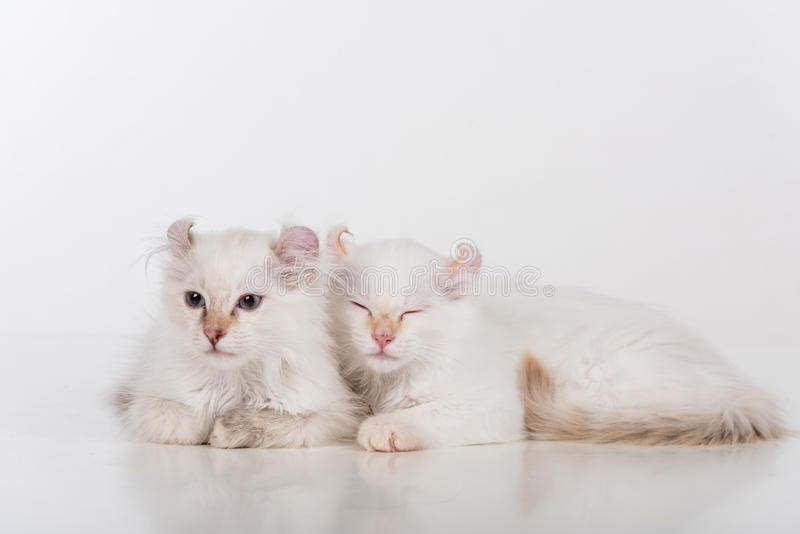 Small and Young Bright White Lovely American Curl Cats Couple Sitting on the white table. White Background. Small and Young Bright White Lovely American Curl stock images