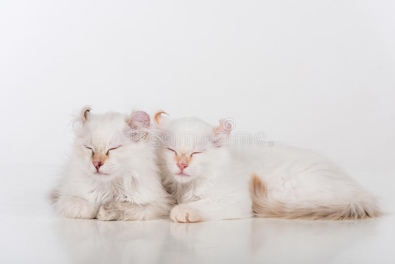 Small and Young Bright White Lovely American Curl Cats Couple Sitting on the white table. White Background. Small and Young Bright White Lovely American Curl royalty free stock photography