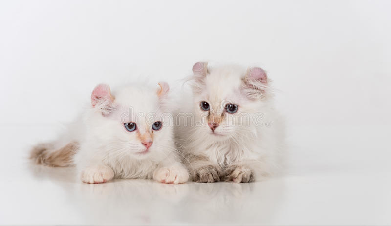 Small and Young Bright White Sad American Curl Cats Couple Sitting on the white table. White Background. Small and Young Bright White Sad American Curl Cats stock photo