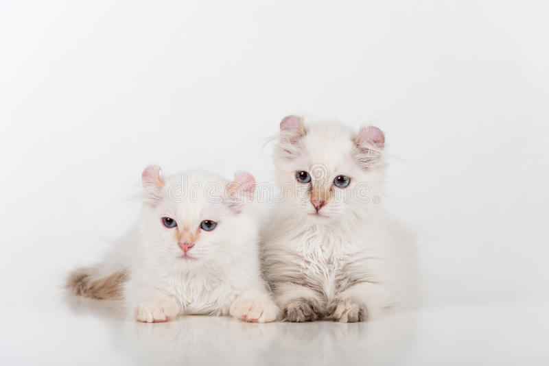 Small and Young Bright White Sad American Curl Cats Couple Sitting on the white table. White Background. Small and Young Bright White Sad American Curl Cats royalty free stock photos