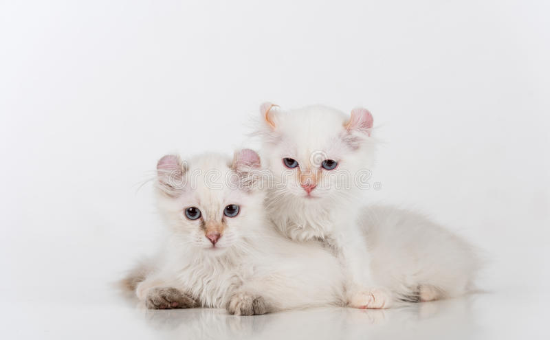 Small and Young Bright White Sad American Curl Cats Couple Sitting on the white table. White Background. Small and Young Bright White Sad American Curl Cats stock photography