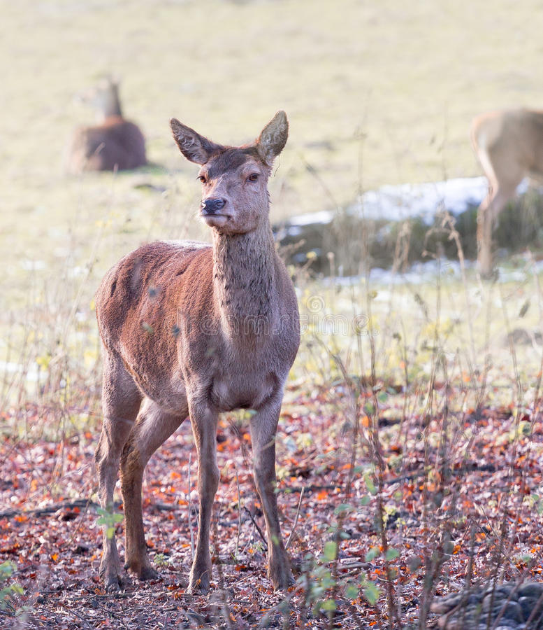 A small young deer stock image