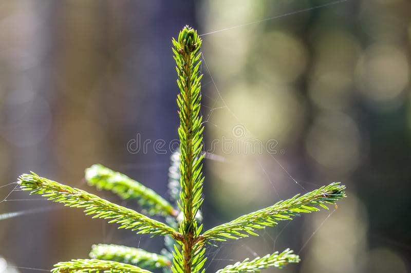 Small young green spruce of a pine tree plant on forest background. Love to nature and environment protection concept. Small young green spruce of a pine tree stock photography