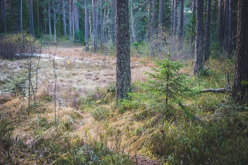 Small young green spruce in the spring wood. Estonia. royalty free stock photos