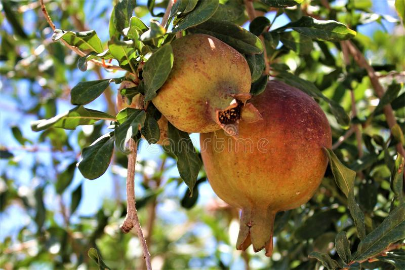 Pomegranate, Punica granatum, fruit bearing deciduous shrub or small tree located in Queen Creek, Arizona, United States. Small, young healthy Pomegranate royalty free stock image