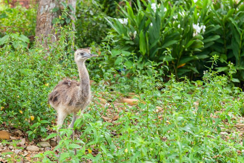 Small young ostrich bird walking in grassland in rainforest of Bolivia stock images