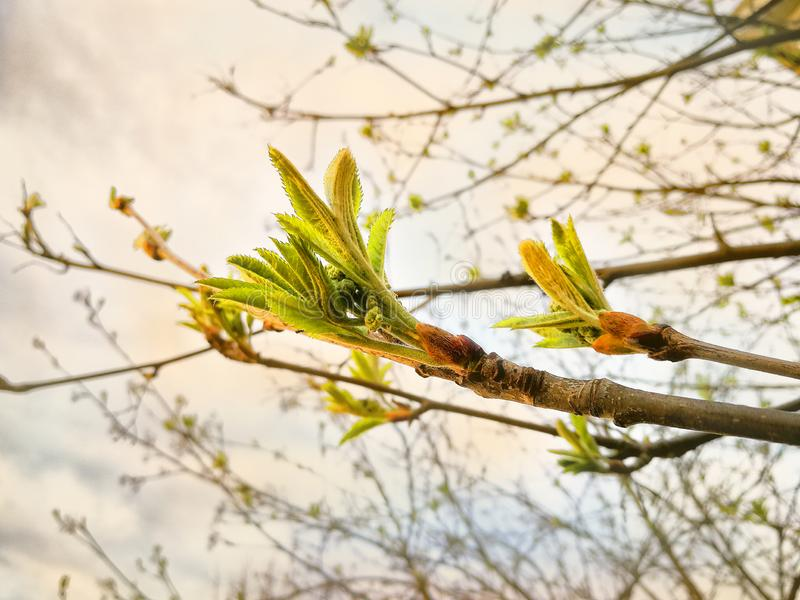 Small, young shoots of mountain ash, in spring. Close-up.  stock images