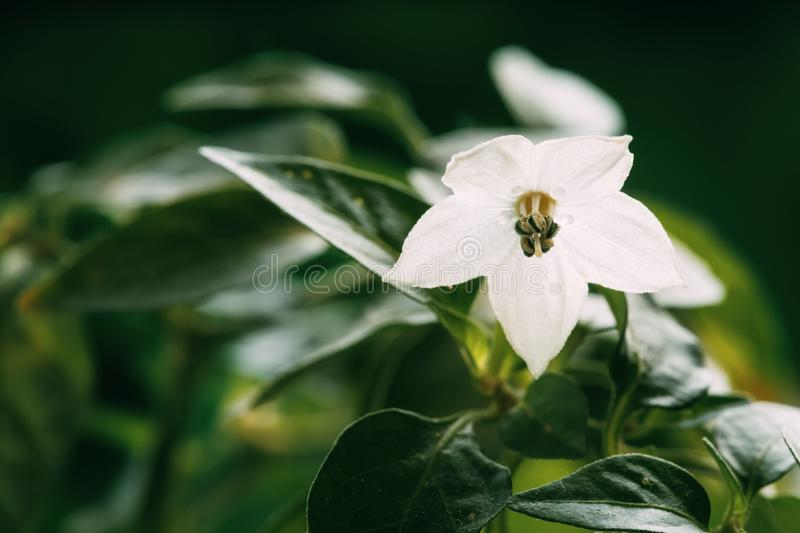 Small Young White Flower Blooming Of Organic Red Pepper Plant. Growing Pepper Bud In Blossom On Garden Bed Plantation In royalty free stock image