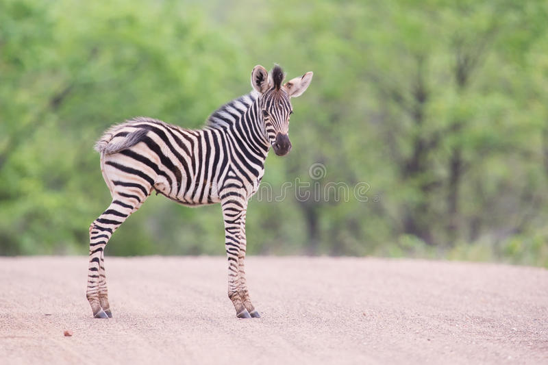 Small zebra foal standing on road alone looking for his mother. Small zebra foal standing on a road alone looking for his mother stock image