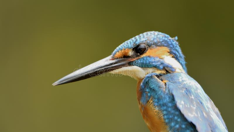 Common blue kingfisher close up. The smallest of all kingfishers monitoring the water for a catch royalty free stock photos