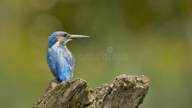 Common blue kingfisher - a portrait with blurred background. The smallest of all kingfishers monitoring the water for a catch royalty free stock images