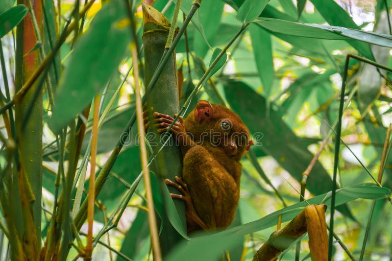 The smallest primate - Carlito Syrichta in Tarsier Sanctuary in Bohol Island royalty free stock photography
