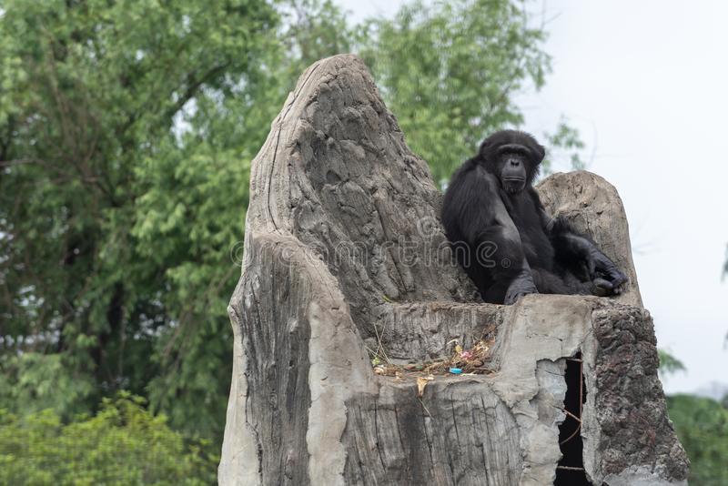 The throne of the king-Chimpanzee-Pan troglodytes. The smallest species of the family of the family orangutanfamily, 70-92.5 cm long, 1-1.7 meters high, 56-80 kg royalty free stock photo