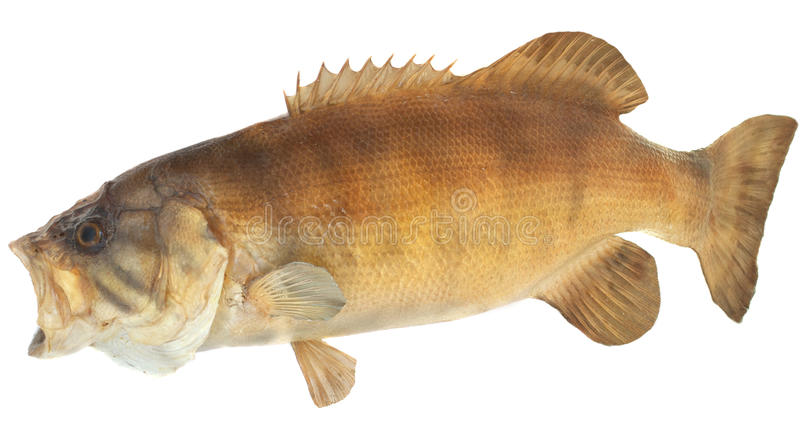 Smallmouth Bass Side View. Side view of a large smallmouth mass mouth open to catch a meal stock photo