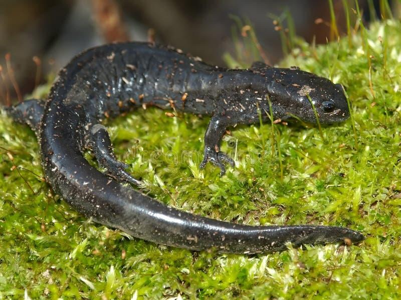 Download Smallmouth Salamander (Ambystoma Texanum) Stock Photo - Image: 18162858