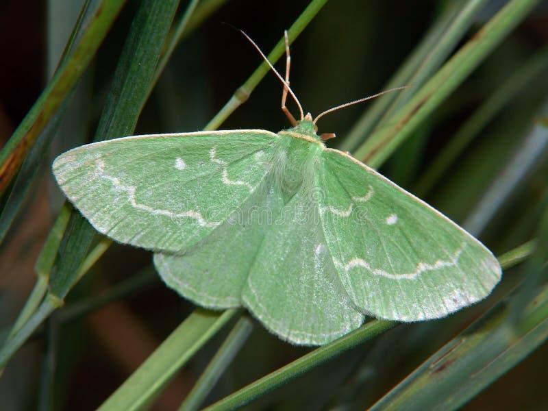 Smaragdaria de Euchloris. fotos de stock royalty free
