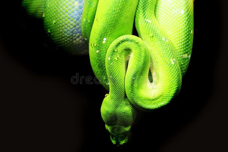 Smaragdbaumboa (Corallus-caninus) als nette grüne Schlange stockbild