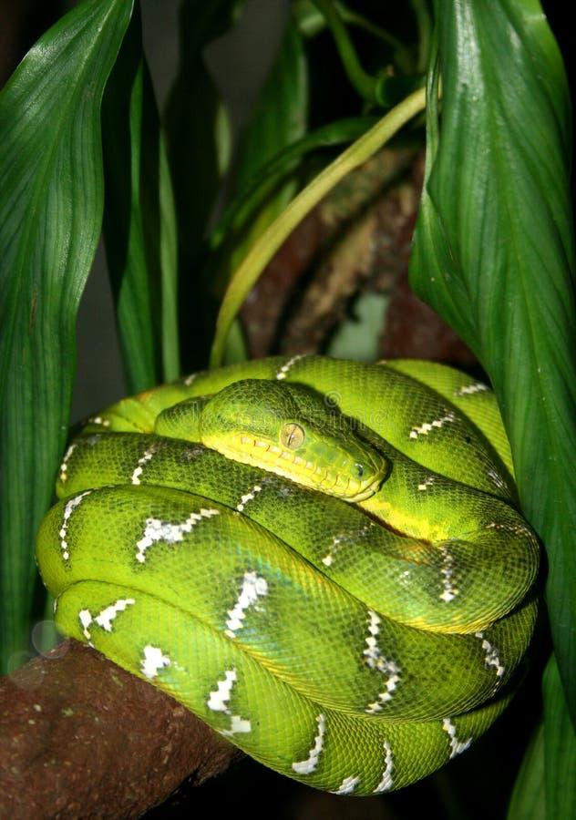 Smaragdgroene Boa stock fotografie