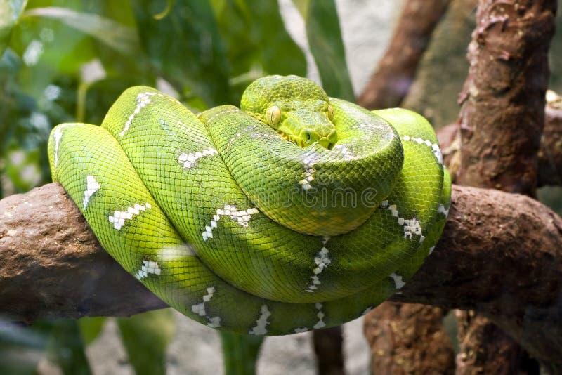 Smaragdgroene boa royalty-vrije stock fotografie