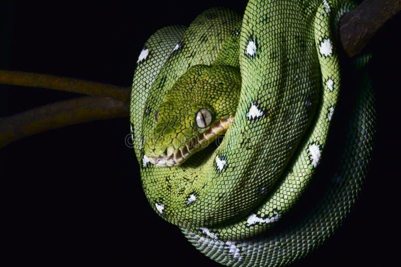 Smaragdgroene boa stock afbeelding