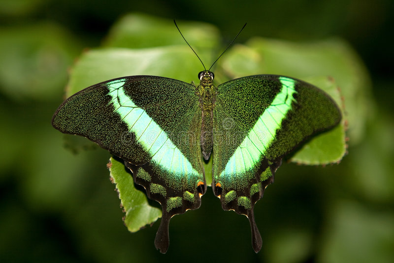 Smaragdgroene Swallowtail royalty-vrije stock afbeelding