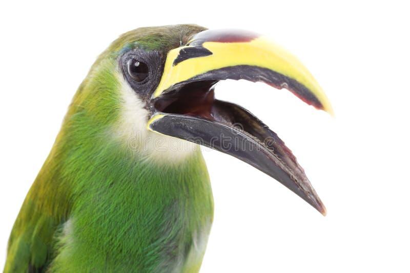 Smaragdgroene Toucanet royalty-vrije stock afbeelding