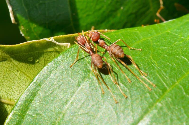 Smaragdina de Oecophylla (os nomes comuns incluem Weaver Ant, esverdeiam fotos de stock royalty free