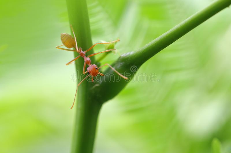 Smaragdina vermelho de Oecophylla da formiga fotografia de stock royalty free