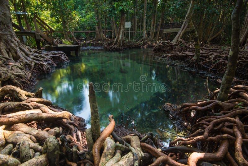 Smaragdpöl i djup mangroveskog royaltyfri bild