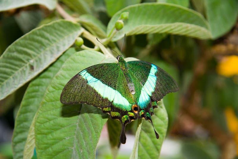 Smaragdpfau (Papilio Palinurus) lizenzfreies stockfoto