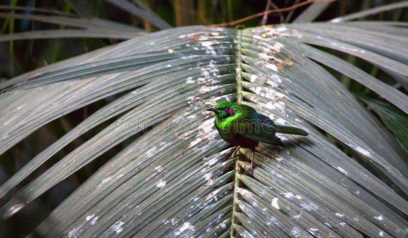 Smaragdstar Lamprotornis-Iris auf einem Palmwedel stockfoto