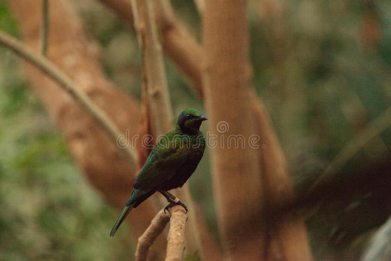 Smaragdstarvogel bekannt als Lamprotornis-Iris stockfotos
