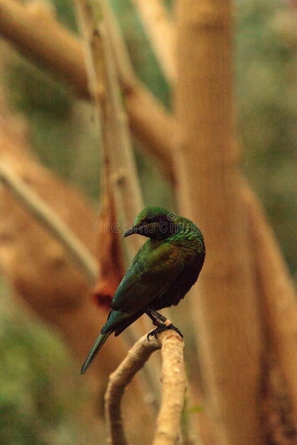 Smaragdstarvogel bekannt als Lamprotornis-Iris stockfoto