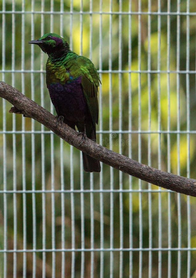 Smaragdstarvogel Lamprotornis-Iris lizenzfreie stockfotos