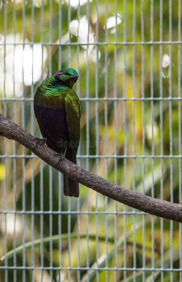 Smaragdstarvogel Lamprotornis-Iris stockbild