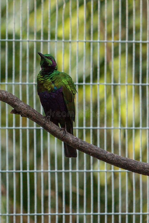 Smaragdstarvogel Lamprotornis-Iris stockfotografie