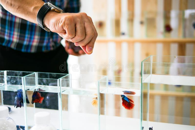 Smart asian men selling siamese fighting fish betta are welcom royalty free stock photo