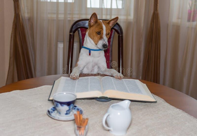 Smart basenjihund som läser den stora boken, medan sitta på en stol på tabellen arkivbild
