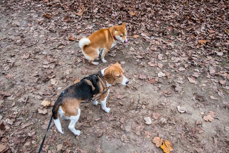 Smart Beagle puppy and obedient young dog breed Shiba for a walk in the city Park. Moscow,Russia royalty free stock image