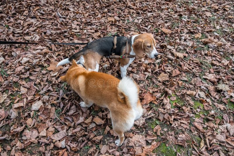 Smart Beagle puppy and obedient young dog breed Shiba for a walk in the city Park. Moscow,Russia stock image