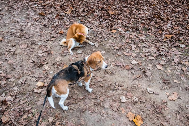 Smart Beagle puppy and obedient young dog breed Shiba for a walk in the city Park. Moscow,Russia royalty free stock images