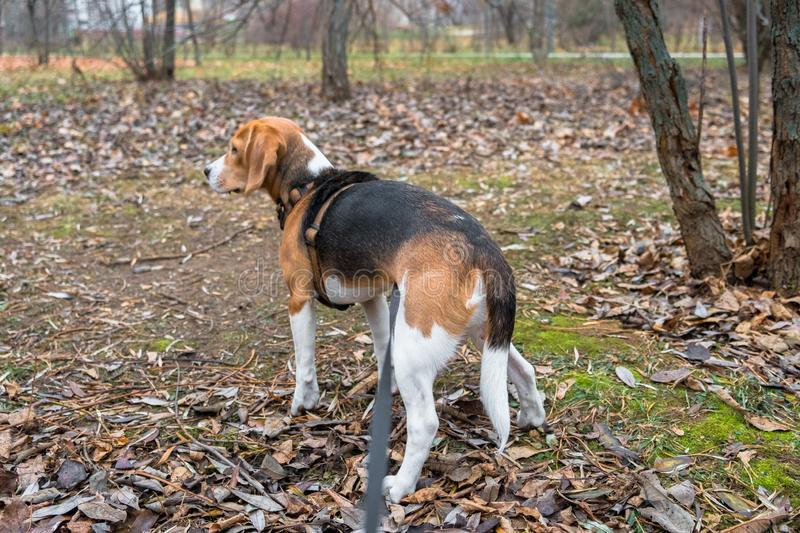 A smart beagle puppy on a walk in the city Park. Tricolor Beagle puppy is watching a peaceful autumn landscape stock image