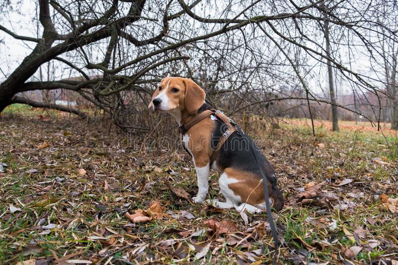 A smart beagle puppy on a walk in the city Park. Tricolor Beagle puppy is watching a peaceful autumn landscape royalty free stock photography