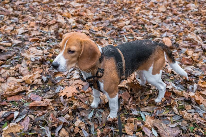 A smart beagle puppy on a walk in the city Park. Tricolor Beagle puppy is watching a peaceful autumn landscape stock photo