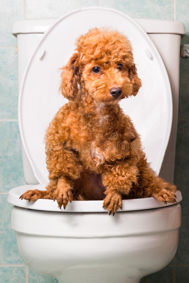 Smart brown poodle dog pooping into toilet bowl stock photography