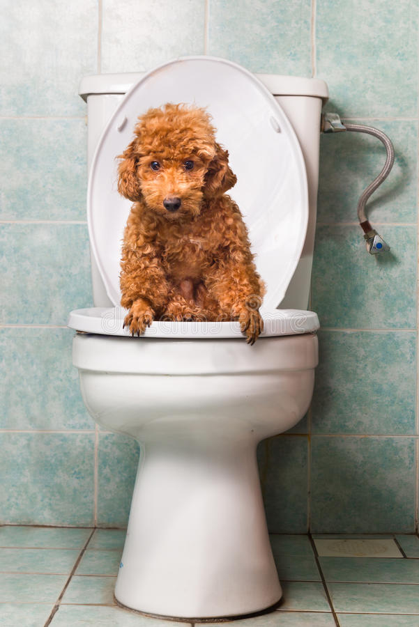 Smart brown poodle dog pooping into toilet bowl royalty free stock photos